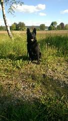 Ronja, Deutscher Schäferhund