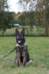 Branka, Deutscher Schäferhund
