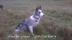 Nils, Border Collie